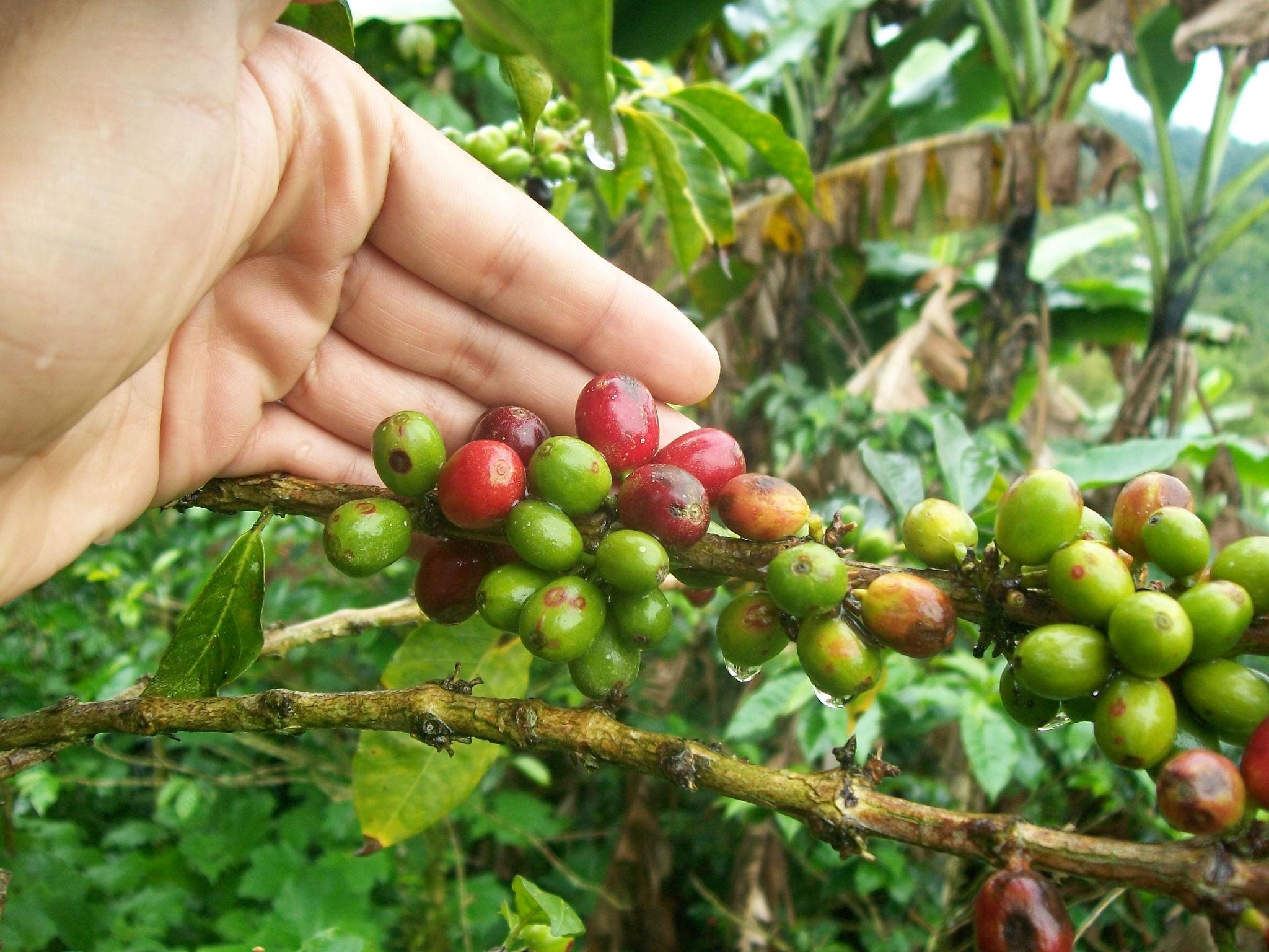 La foto muestra los cultivos de café de Manizales de la empresa  tisquesusa, Cortesía: Café tisquesusa.