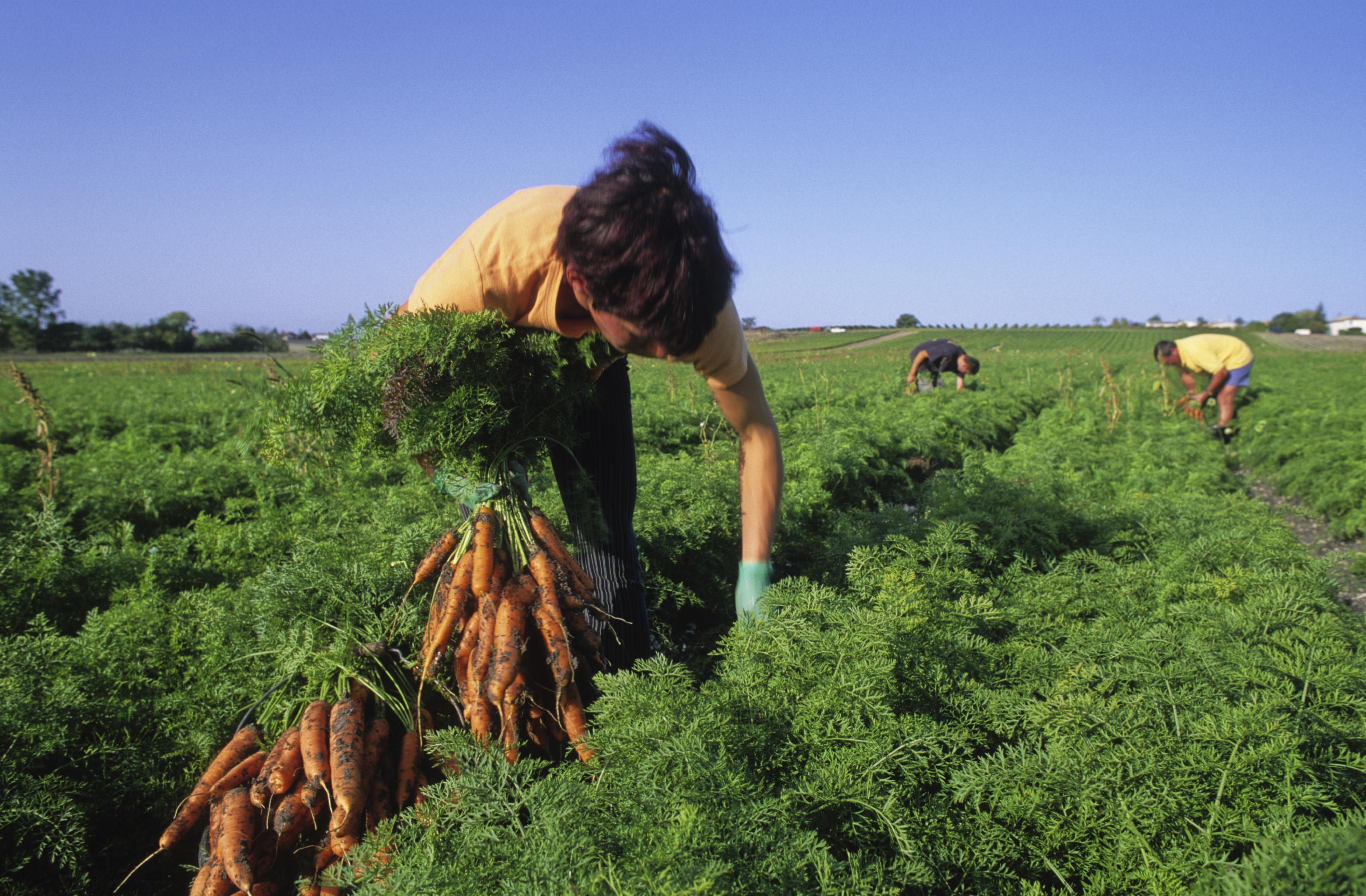 Campesinos con cultivos de zanahorias