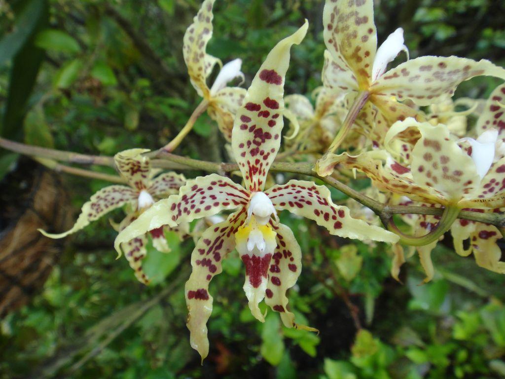 Orquídea Odontoglossum gloriosum en peligro por pesticidas