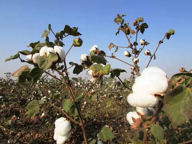 Cosecha de algodón