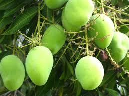 El mango sus propiedades nutritivas y beneficios para la salud