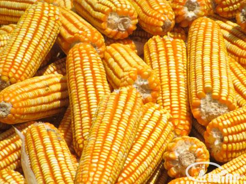 Nuevas razas de maíz colombiano