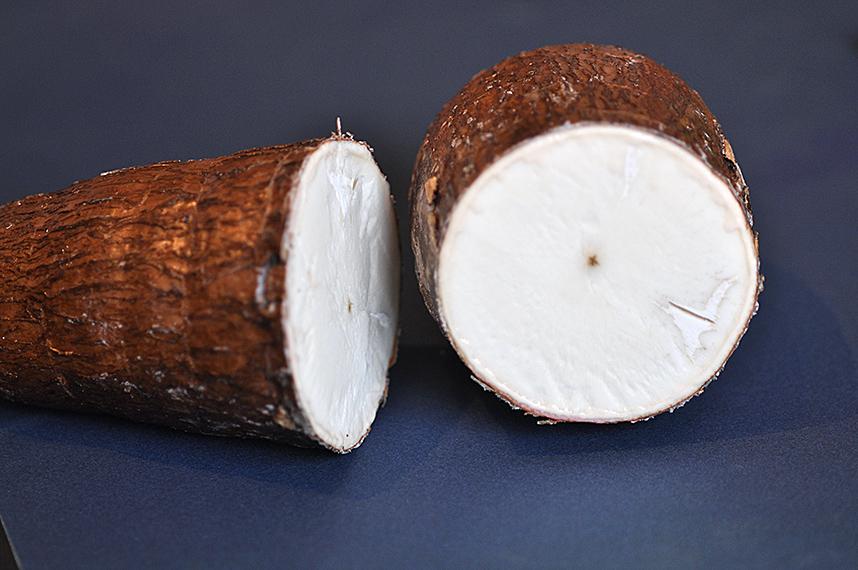 Cámara de termoterapia marca la diferencia en multiplicación de yuca y plátano