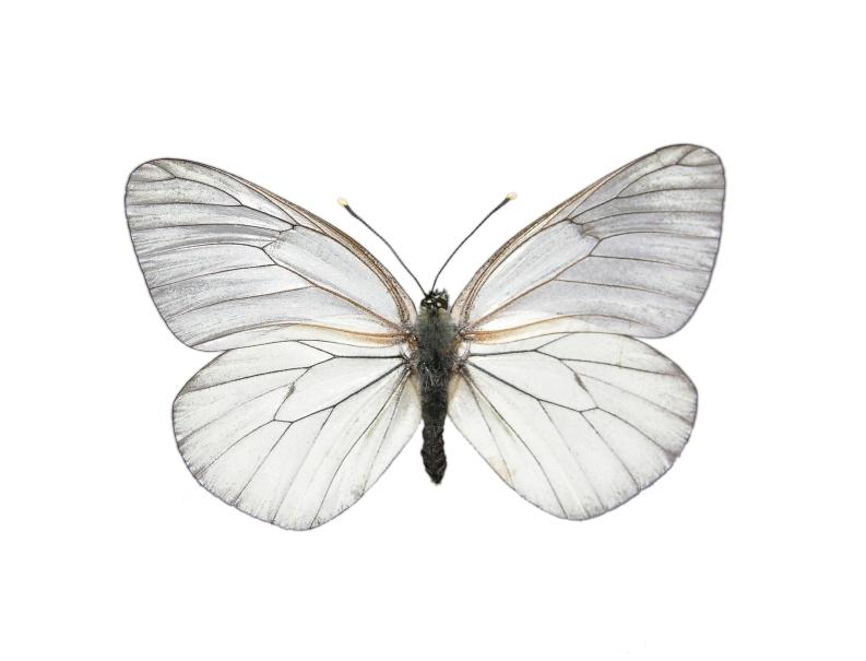"""""""Mariposa come coca"""", vuelve como posible solución"""