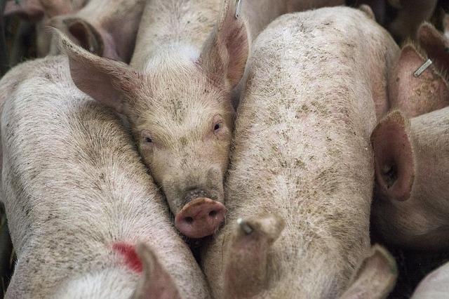 Jornadas de vacunación contra la Peste Porcina