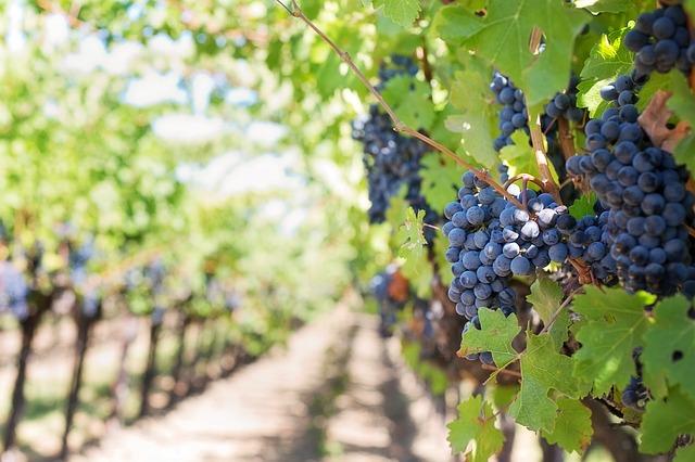 Las uvas: una fuente de energía y rejuvenecimiento para la piel, ideal para combatir problemas cardiovasculares