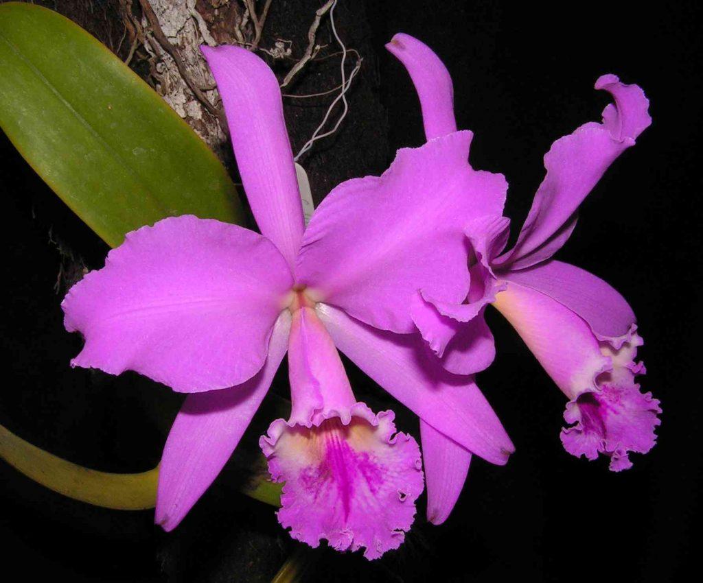 Orquídea privilegio de los Colombianos