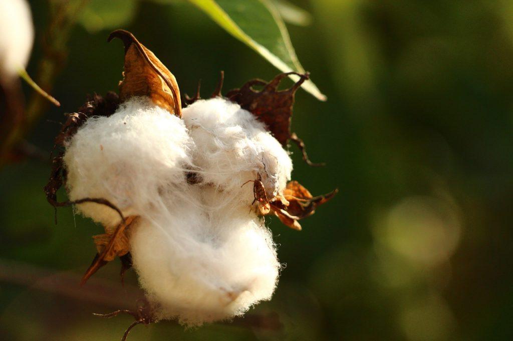 Tolima es el campeón en producción algodonera del país