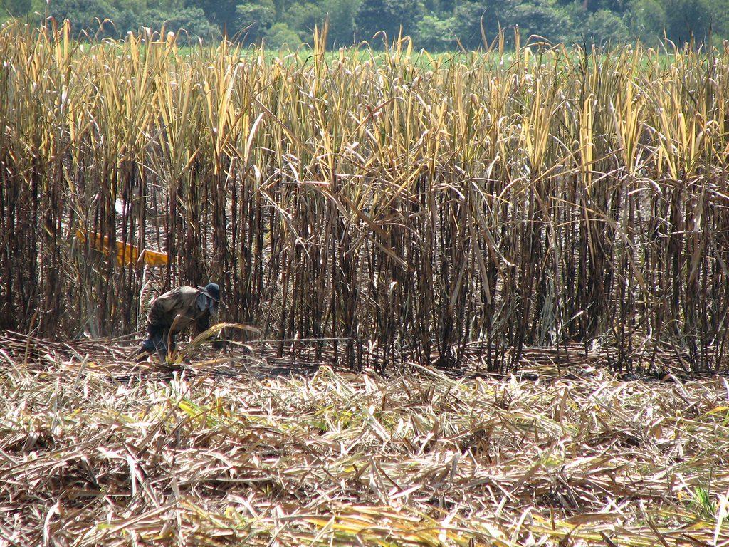 Asocaña aplicará estrategias de ahorro para cultivadores de caña
