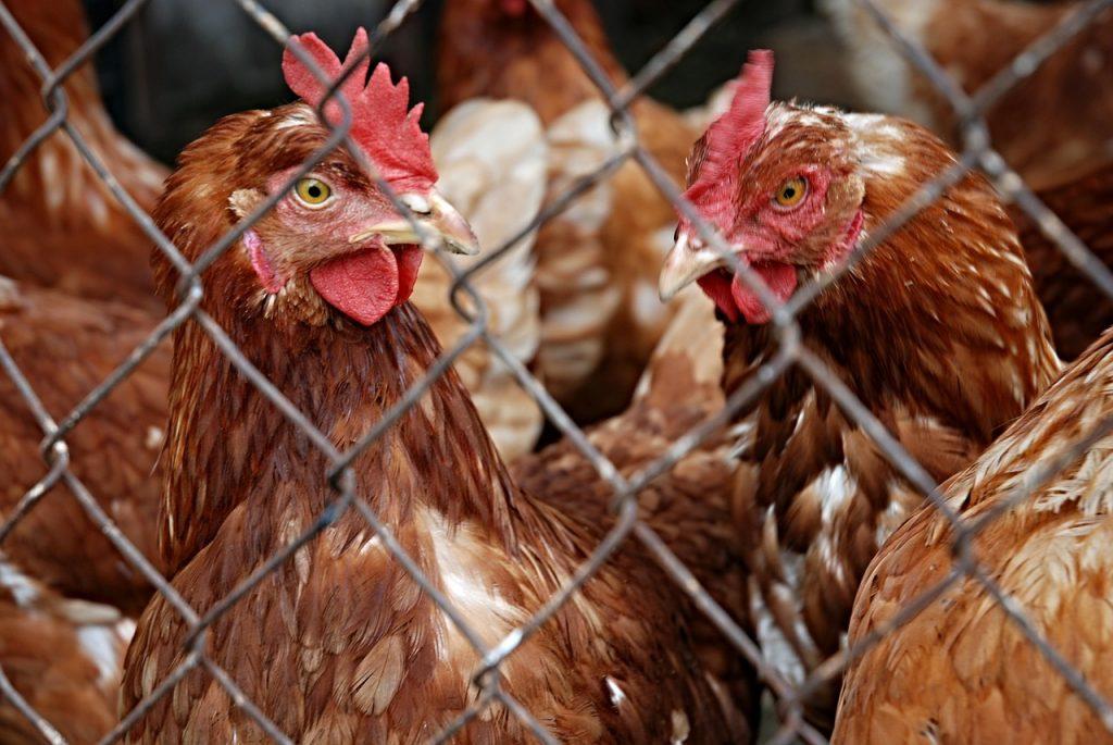 Safe: un sistema para mejorar la producción avícola