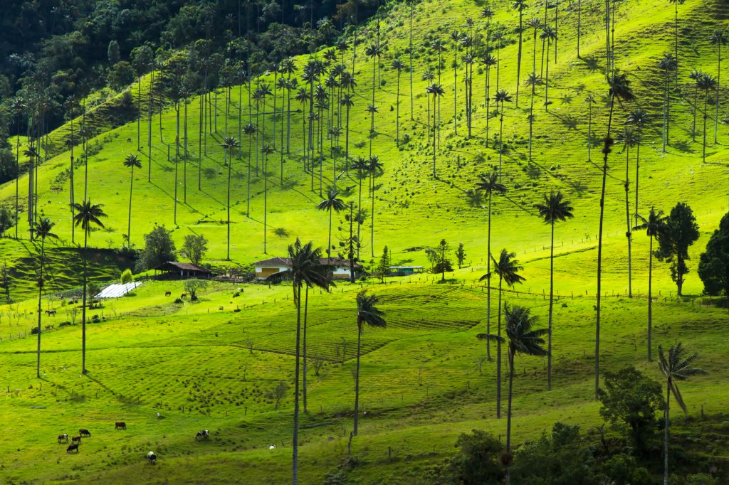 The Palma de Cera (Wax Palm) is the national tree of Colombia. The palms live more than 100 years, but as you can see there are no baby palm trees. Unless they figure out what is happening, they will become extint. Ok, framing probably does not help them :)