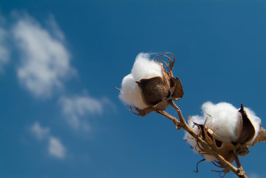 MilAgricultura establecerá nuevos compromisos con los algodoneros del país