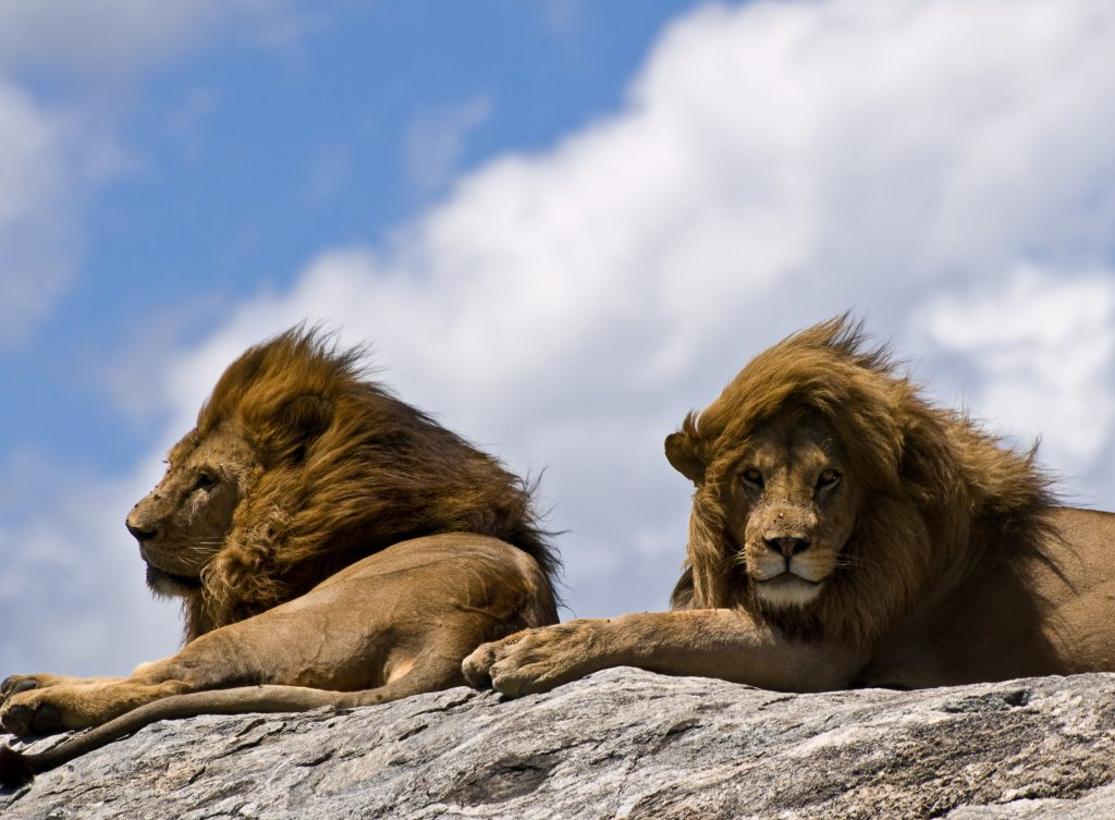 Close-up on a pair of male lions basking in the sun on a rocky outcrop in the Serengeti National Park, Tanzania