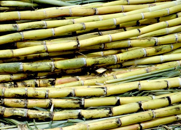 Cannes à sucre, vendues sur le marché de Tlacolula. cf fiche d'actualité scientifique n° 252, 212.