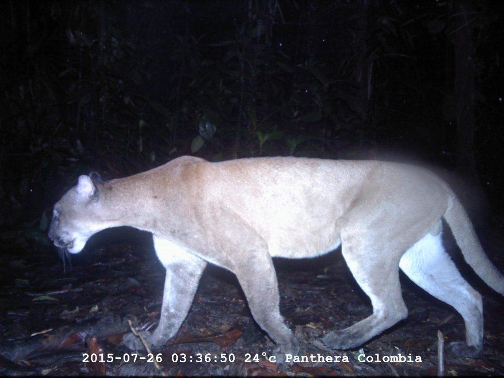 Panthera Colombia
