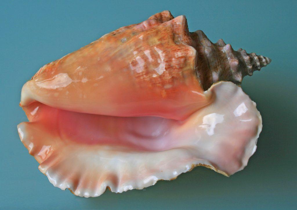 Sea_shell_(Trinidad_&_Tobago_2009)