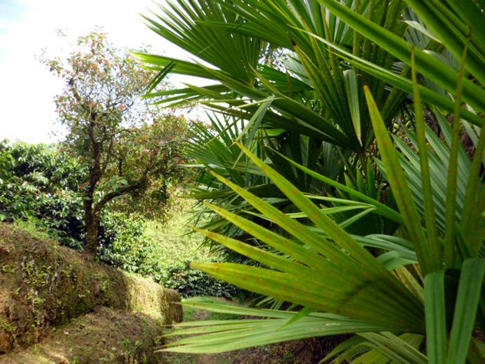 Palma de Iraca