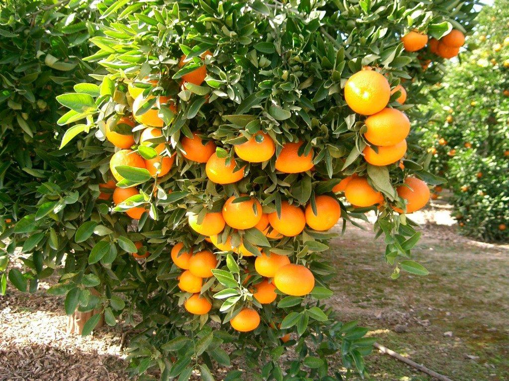 cultivos cítricos